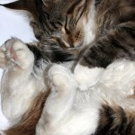sleeping_maine-coon